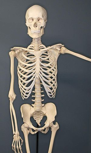 Human Skeleton on Exhibit at The Museum of Ost...