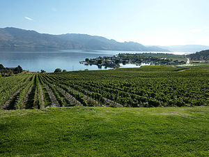 Vineyard growing in the Canadian wine region o...